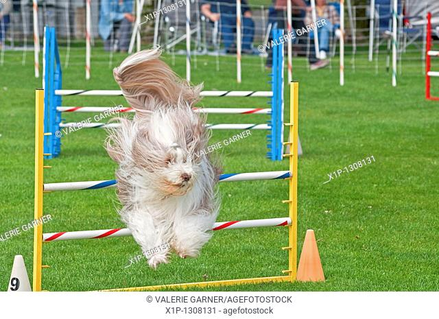 This beautiful long haired bearded collie dog is jumping during an obsticle course during an agility dog show He's showing off his athletic ability during ths...