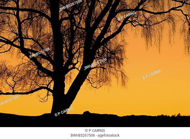 common birch, silver birch, European white birch, white birch Betula pendula, Betula alba, silhouetted at sunset, United Kingdom, Scotland