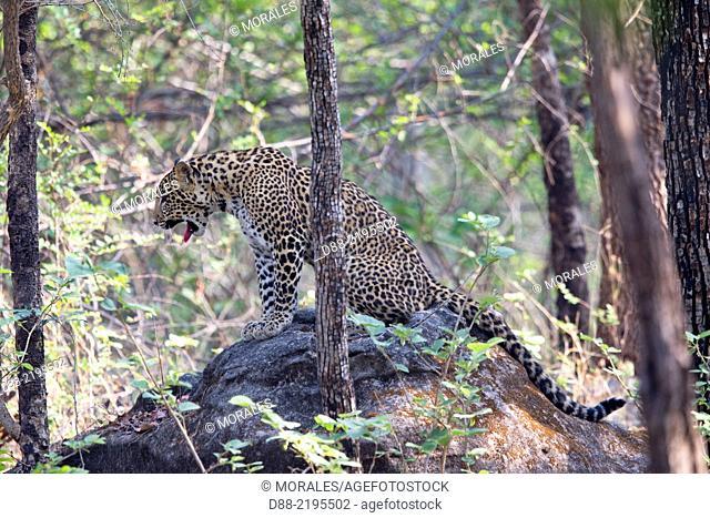 Asia,India,Madhya Pradesh,Satpura tiger reserve,Indian leopard (Panthera pardus fusca),young
