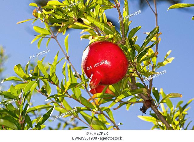 pomegranate, anar (Punica granatum), pomegrate on a tree