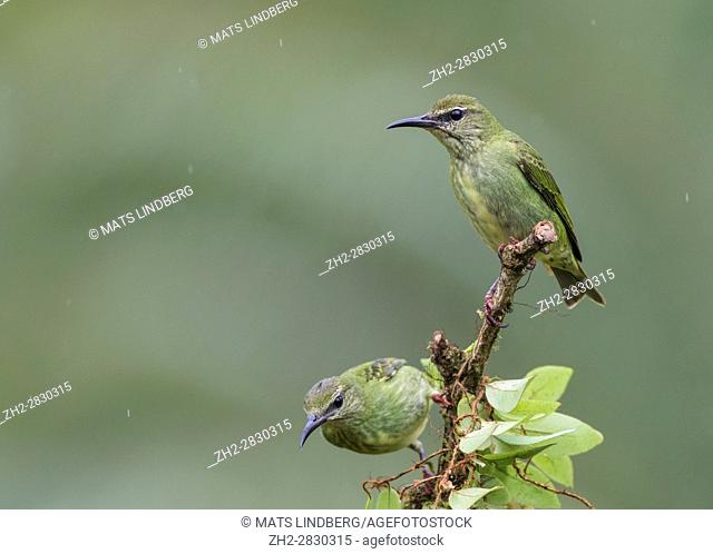 Two female Red-Legged Honeycreeper, Cyanerpes cyaneus, sitting in a tree in rainforest at Laguna del Lagarto, Boca Tapada, San Carlos, Costa Rica