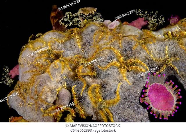 Grouping of Common brittle star (Ophiothrix fragilis). Eastern Atlantic. Galicia. Spain. Europe