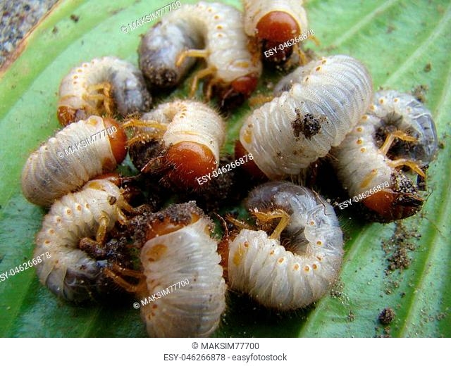 larva of the may beetle is a genus of insects of the family of scarab