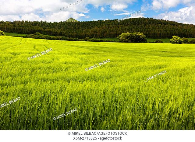 Barley crop. Ayegui, Estella comarca, Navarra, Spain, Europe
