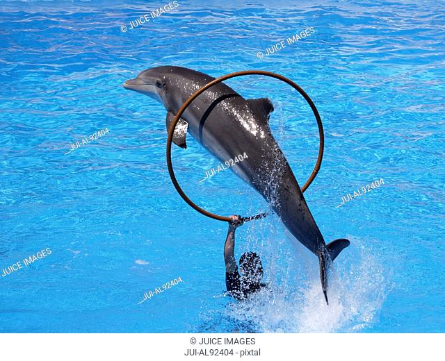 Bottlenose dolphin jumping through hoop, Loro Parque, Tenerife, Canary Islands, Spain
