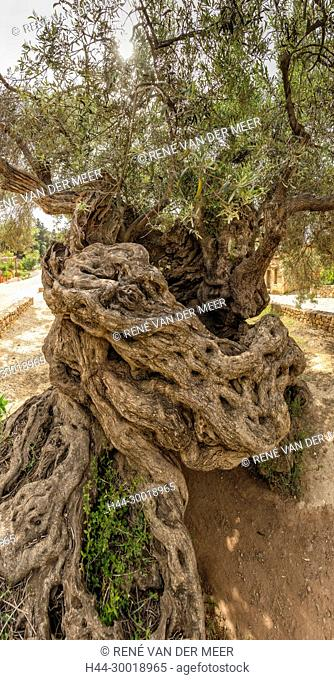 Ancient Olive tree, estimated it to be 4, 000 years old, Vouves, Greece