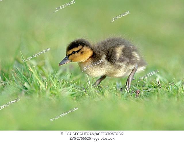 Mallard Duckling, Anas platyrhynchos