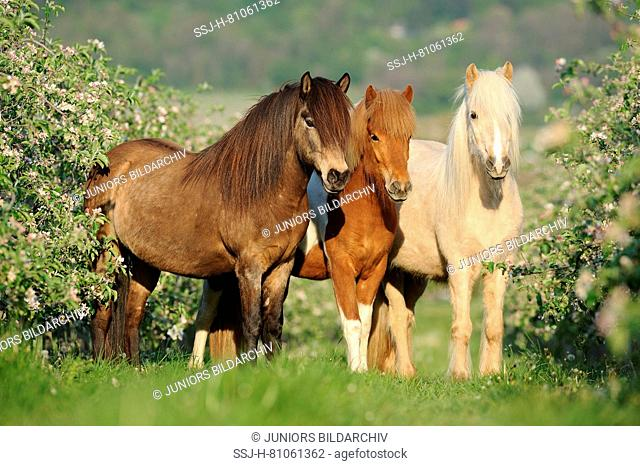 Icelandic Horse. Chestnut. bay and pinto adult standing next to flowering bushes. Germany