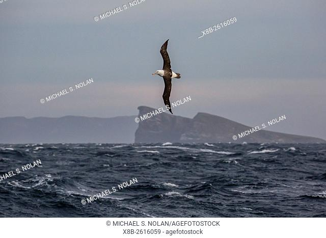 Adult black-browed albatross, Thalassarche melanophris, in flight in the New Island Nature Reserve, Falkland Islands