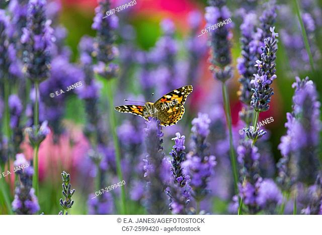 Painted Lady Butterfly Cynthia cardui feeding on lavender flowers in garden setting