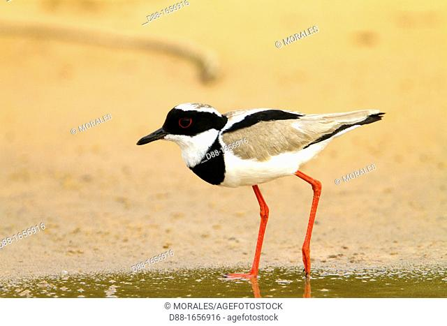Pied Plover (Vanellus cayanus), also known as the Pied Lapwing, Pantanal area, Mato Grosso, Brazil