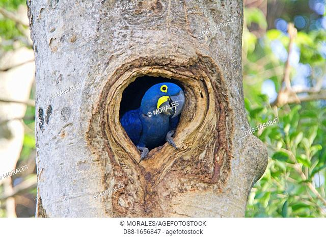 Hyacinth Macaw (Anodorhynchus hyacinthinus), adult in the nest -hole in a tree-, Pantanal area, Mato Grosso, Brazil