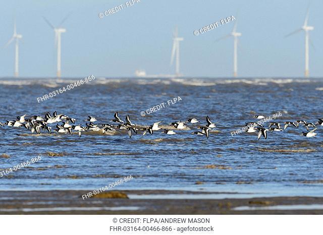 Eurasian Oystercatcher (Haematopus ostralegus) flock, in flight, over shoreline with wind turbines of offshore windfarm in distance, Hoylake, Dee Estuary