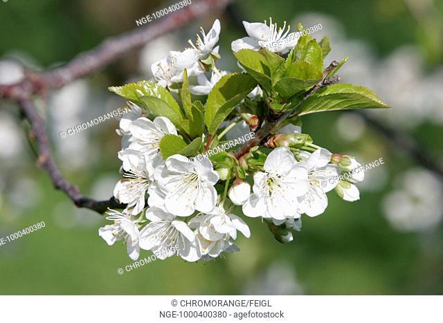 flower of an appletree styria austria