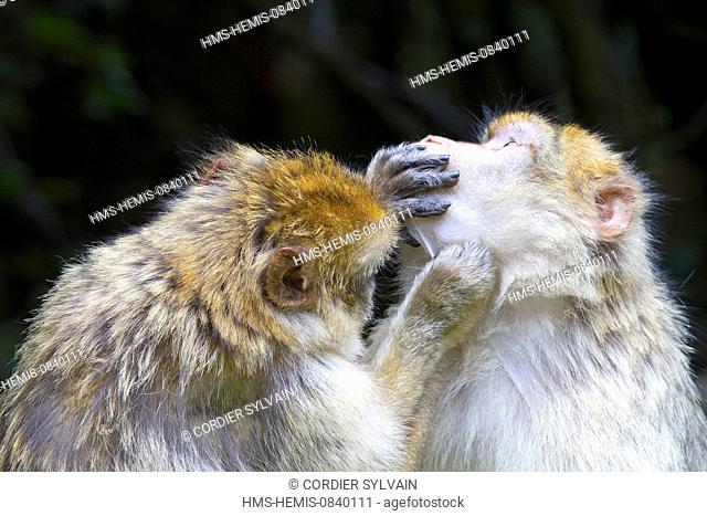 France, Bas Rhin, Kintzheim, Monkeys mountain, Barbary macaque (Macaca sylvanus)