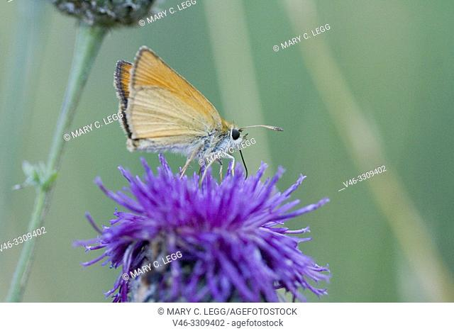 Essex Skipper, Thymelicus lineola, small skipper similar to the Small Skipper, Thymelicus sylvestris