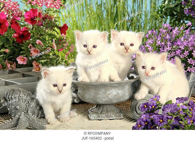 Sacred cat of Burma - four kittens