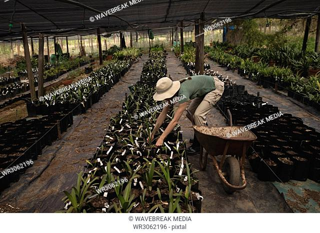 Female worker working in the greenhouse