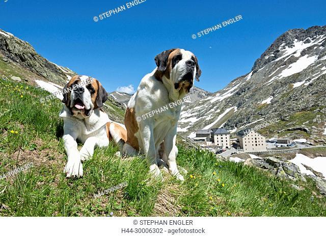 Switzerland, Valais, Col du Grand-Saint-Bernard, Barry dogs