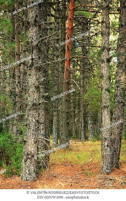 Scots pine Pinus sylvestris in elParque Natural Serrania de Cuenca
