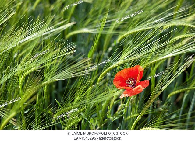 Single red poppy amongst wheat field along the Camino de Santiago