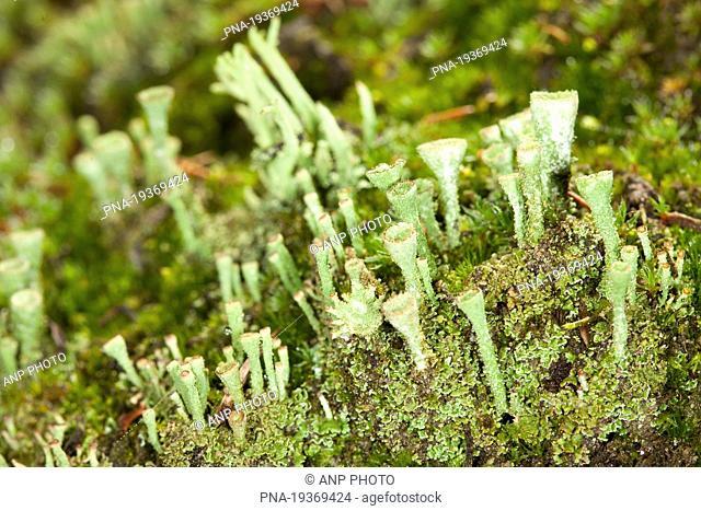 Gray's cup lichen Cladonia grayi - Mantingerveld, Nieuw Balinge, Drenthe, The Netherlands, Holland, Europe