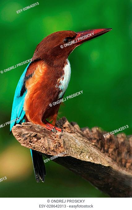 White-throated Kingfisher, Halcyon smyrnensis