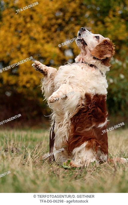 Welsh Springer Spaniel shows trick