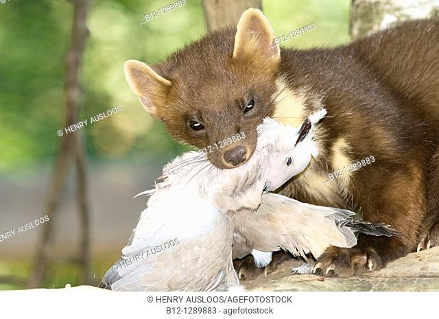 Pine Marten (Martes martes) with prey collared turtle dove