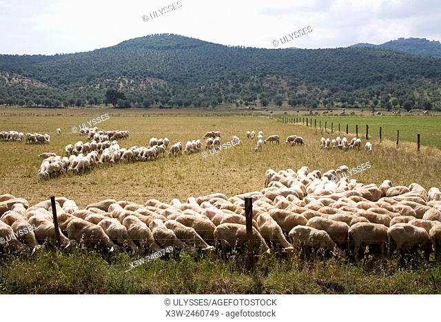 europe, italy, tuscany, sticciano area, sheeps to pasture