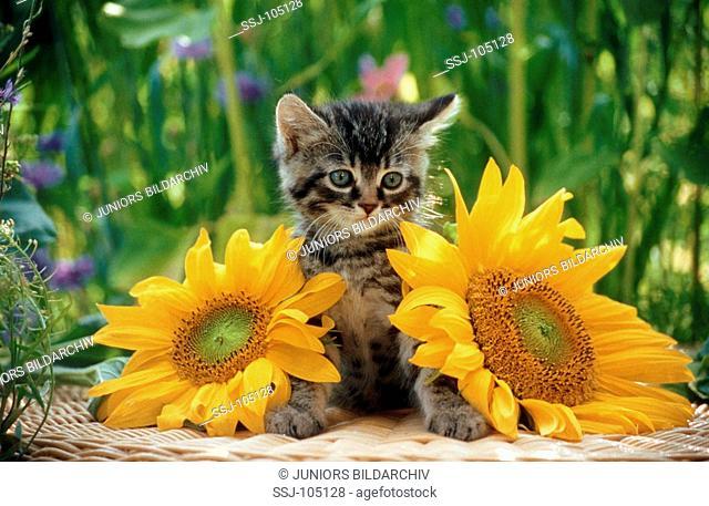 domestic kitten between sunflowers