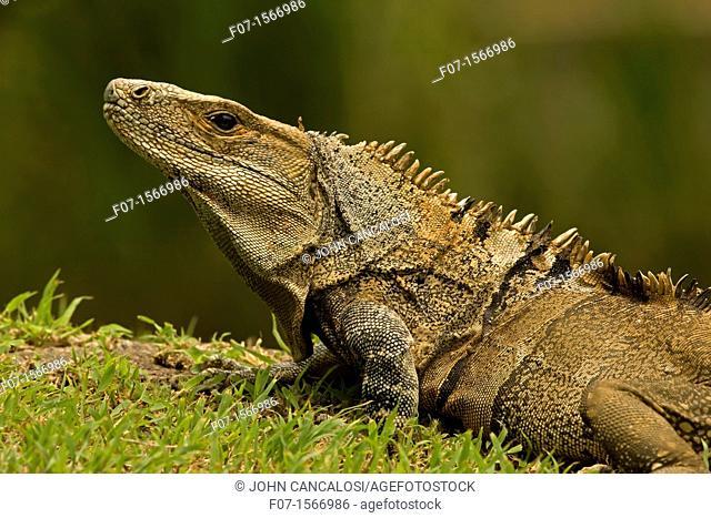 Spiny-tailed Iguana Ctenosaura similis, Costa Rica - Tropical dry forest - Santa Rosa National Park