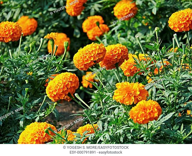 Flowers of Tagetes erecta, African Marigold, Maharashtra, India