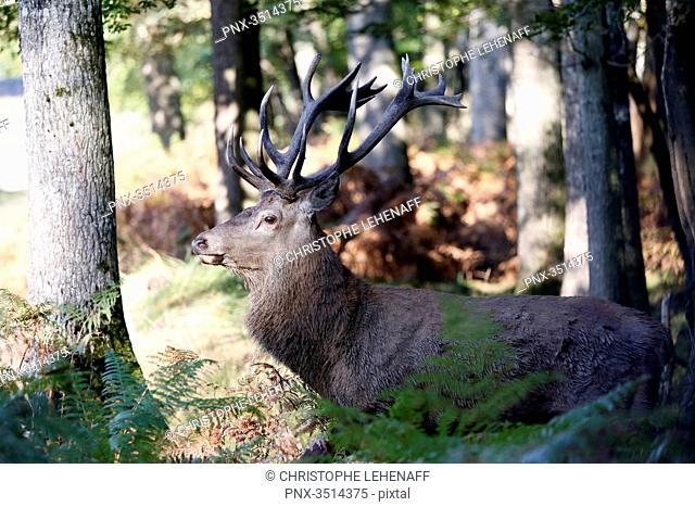 France, Burgundy, Yonne. Area of Saint Fargeau and Boutissaint. Slab season. Stag in the undergrowth seeking a female