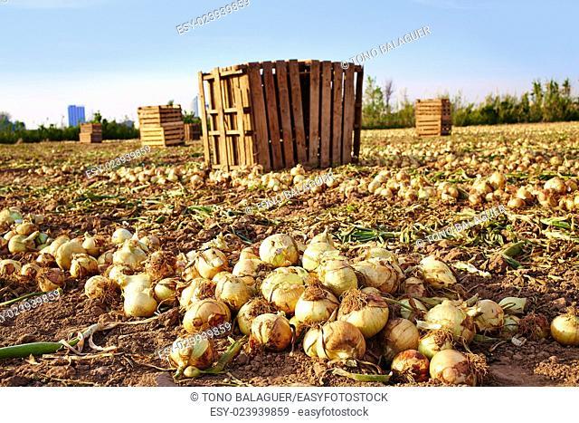 Onion harvest in Valencia Spain huerta field