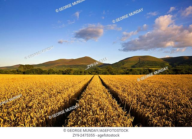 Wheatfield near Clogheen,. Look towards the Knockmealdown Mountains,. Co Tipperary, Ireland