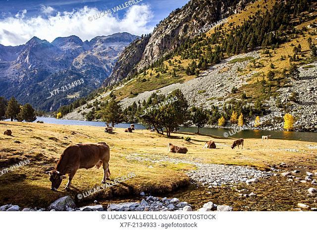 cows near `Estany Llong',Llong lake,Aigüestortes i Estany de Sant Maurici National Park,Pyrenees, Lleida province, Catalonia, Spain