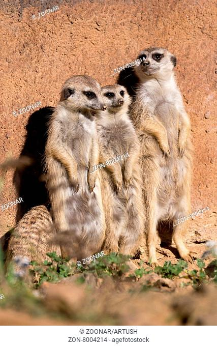 family of meerkat or suricate watching out for danger