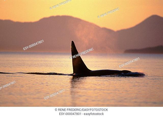 Orca killer whale (Orcinus orca). Iside passage. Alaska. USA