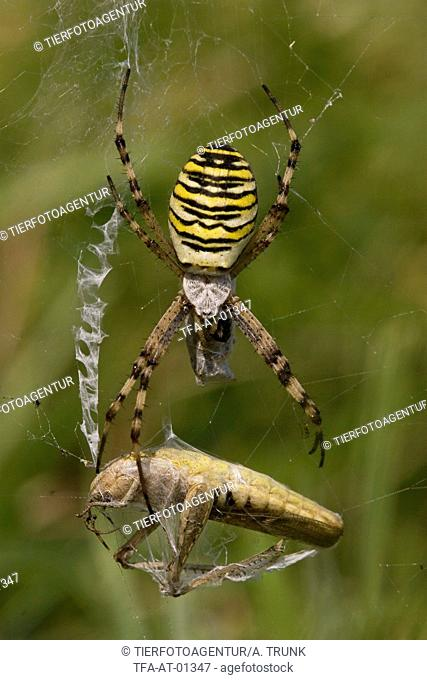 wasp spider with grasshopper