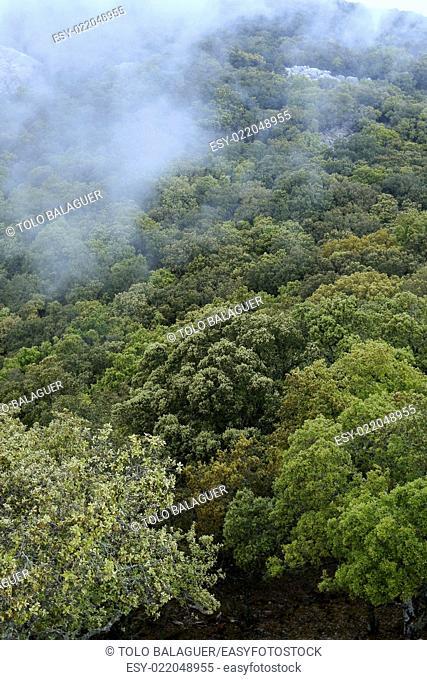 Encinar (Quercus Ilex). Mola de Planicia. Sierra de Tramuntana. Mallorca. Baleares. España