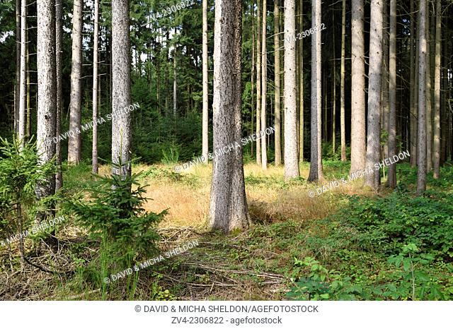 Landscape of a Norway spruce (Picea abies) forest in late summer