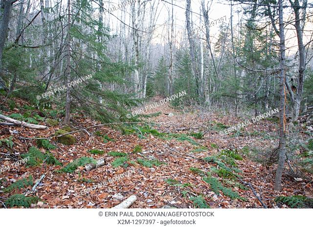 Forest in the Sabbaday Brook drainage of the White Mountains, New Hampshire USA