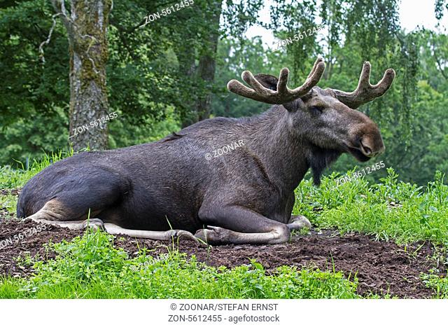 Elk male Alaska (Moose)