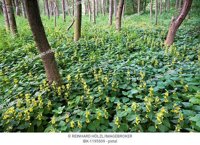 Alluvial forest and Yellow Archangel (Lamium galeobdolon), Pielach near Loosdorf, Upper Austria, Europe