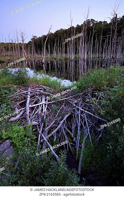 A full moon rising at dusk over a beaver dam in a marsh near Bala, Muskoka, Ontario, Canada