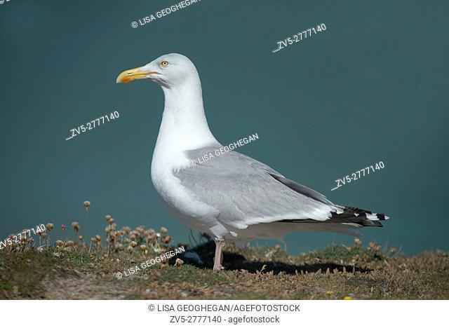 Herring Gulls-Larus argentatus. Uk