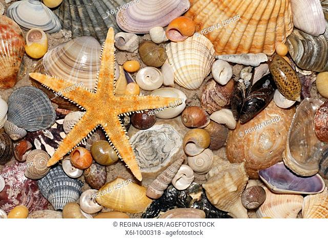 Atlantic Mixed Shells and star fish on beach, in Coto Donana National Park, Andalucia, South Spain