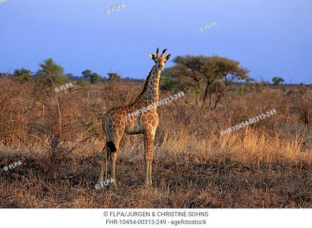 Cape Giraffe (Giraffa camelopardalis giraffa) calf, standing, Kruger N.P., Great Limpopo Transfrontier Park, South Africa, November