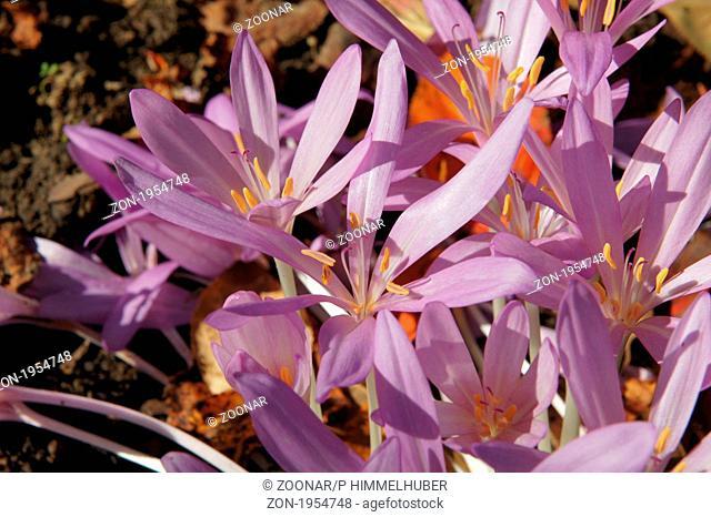 Colchicum autumnale, Herbstzeitlose, naket lady